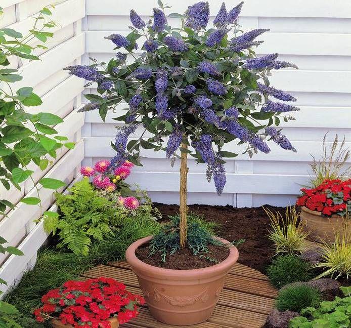 Buddleja W Formie Drzewka Miniaturowe Drzewka Na Balkon Kwitnace Ozdobne I Owocowe Container Gardening Garden Containers Plants