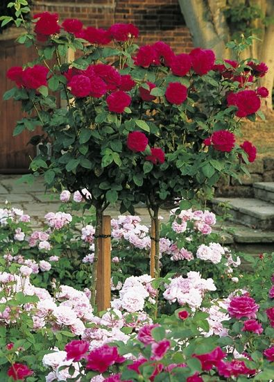 Standard Roses (Tree Roses) by David Austin Roses - We have this L.D. Braithwaite Tree Rose in our garden and it's absolutely stunning!