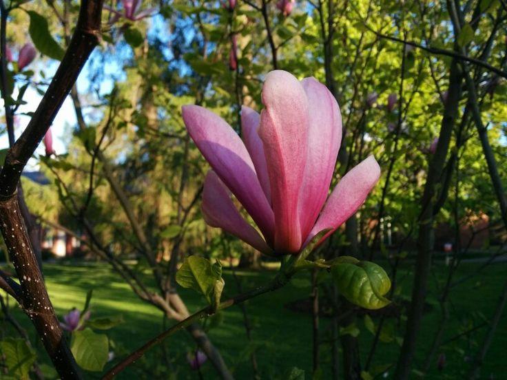 Magnolia Galaxy Hatanpään arboretumissa.