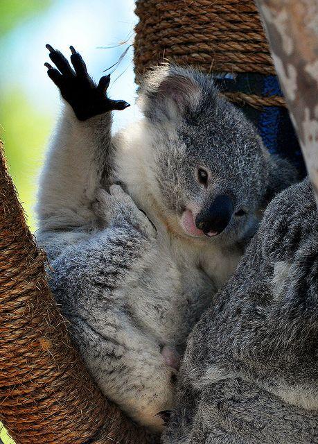 It's Friday, up top! #TGIF #koalafornia
