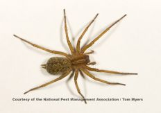 The common name for the hobo spider comes from its presumed method of expanding its distribution by hitching rides with humans along major highways in the Pacific Northwest.