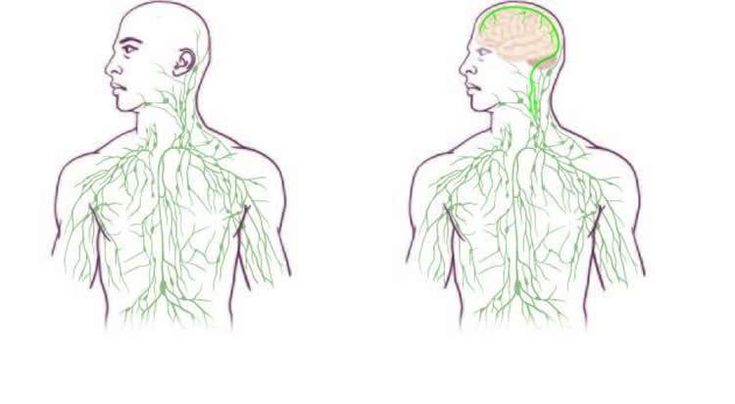 Researchers Find Missing Link Between the Brain and Immune System - NeuroscienceNews.com - In a stunning discovery that overturns decades of textbook teaching, researchers at the University of Virginia School of Medicine have determined that the brain is directly connected to the immune system by vessels previously thought not to exist. This shows the maps of the lymphatic system: old (left) and updated to reflect UVA's discovery. #science #neuroscience #brain