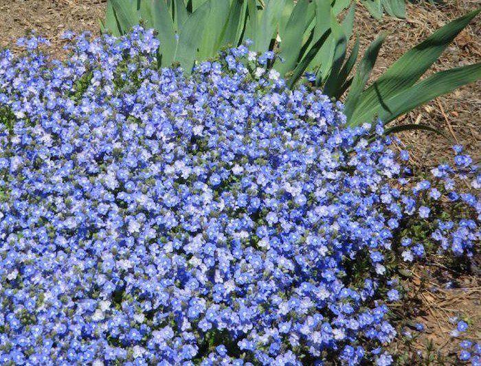 début de colonisation de plante rampante fleurie et couvre sol