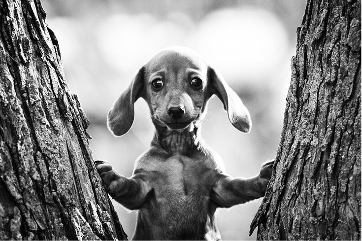 How would you describe this? It would probably include the word awwwdorable!: Pet Photography, Friends, Dogs Photography, Dachshund, Trees, Things, Seth Casteel, Little Puppys, Animal