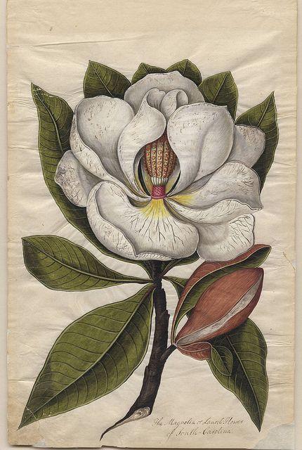 magnolia flower   vintage botanical print   art