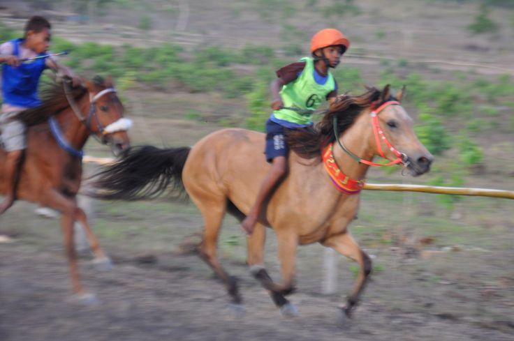 Lombok pony. Kuda Lombok. JENIS - JENIS KUDA DI INDONESIA