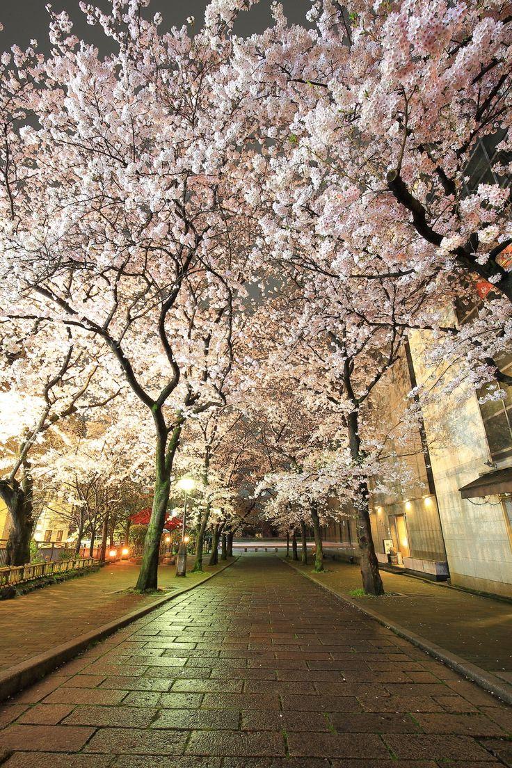 Kyoto Gion-Shirakawa cherry trees at evening