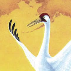 Dancing Cranes #asia #birds #cranes #dance #endageren-species #grasses #map #marsh #mate #mating #migration #monte-dolack #preservation #rice-paddies #sand-hill-cranes #sun #waterfowl #white-napped-cranes #whooping-cranes #wildlife