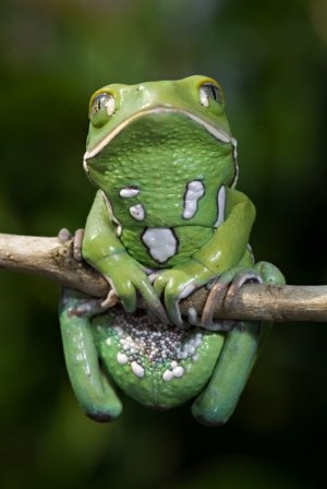 Waxy Monkey Tree Frog ~ They seal in moisture by giving themselves a rubdown with a waxy substance secreted through skin glands