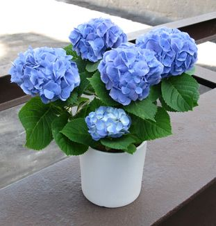 Surprise Her With These Fresh Cut Blue Hydrangeas