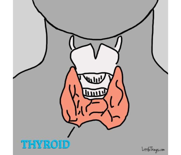 A tiroide é uma pequena glândula localizada no pescoço de homens e mulheres. Tem o formato de uma borboleta e é responsável por um monte de coisas em nosso