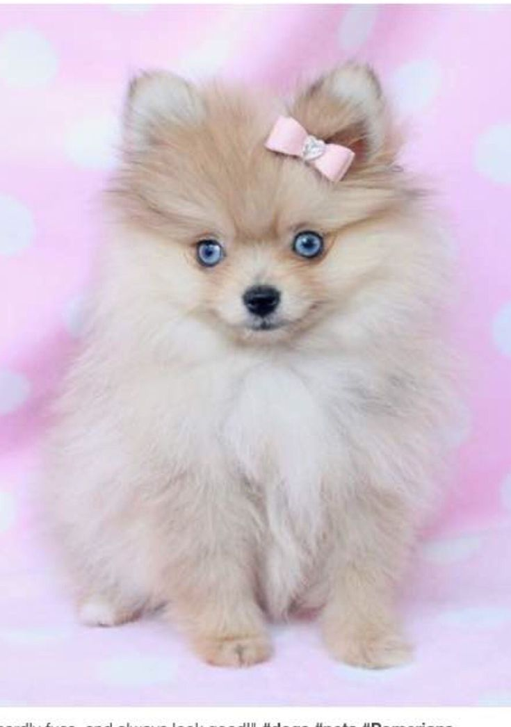 teacup pomeranian puppies adoption pinterest savana rollins pomeranians teacup 881