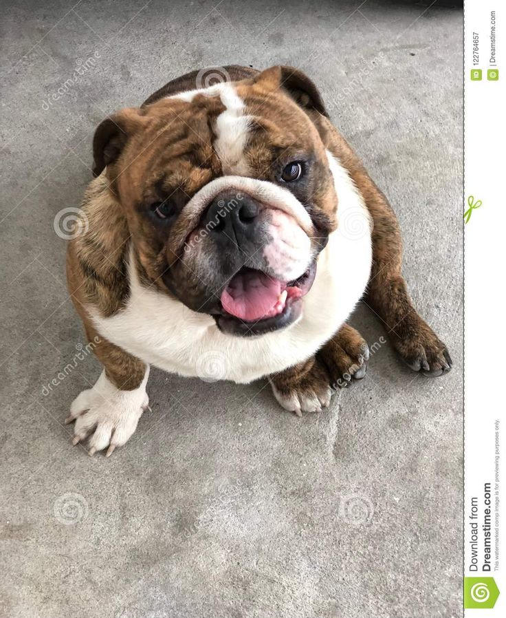 English Bulldog Sit Look Brown Stock Image Image Of Brown