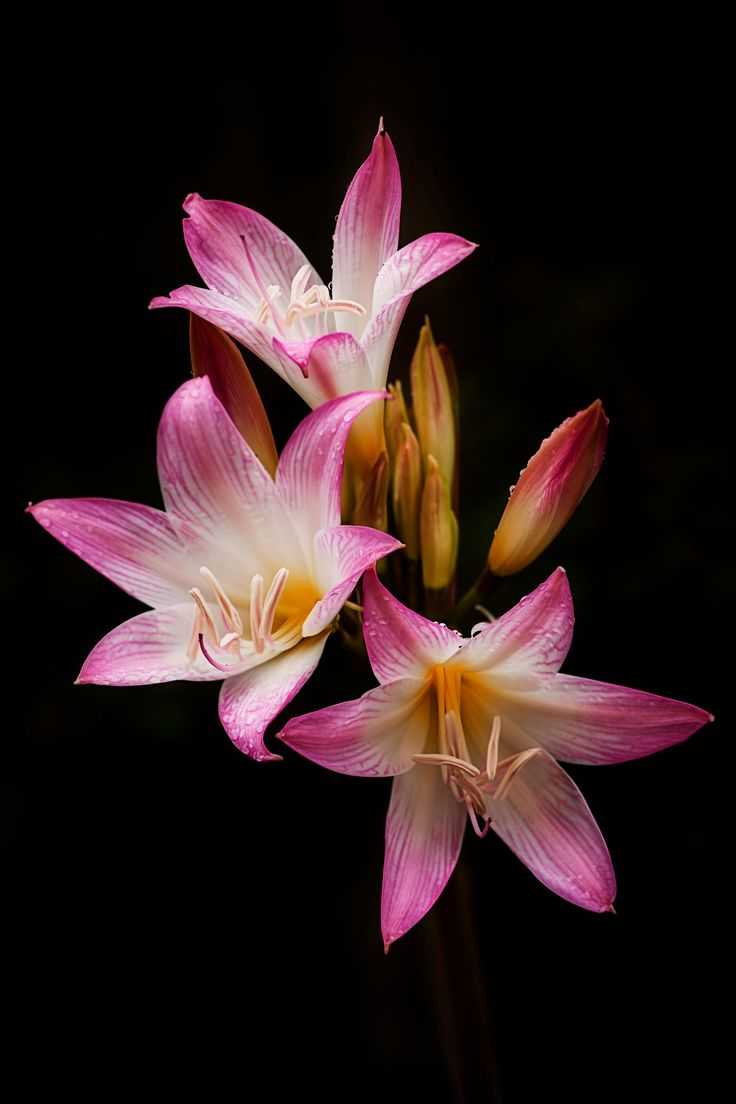 Jersey Lily - March Lily, Amaryllis  Belladonna, beautiful flowers they are...