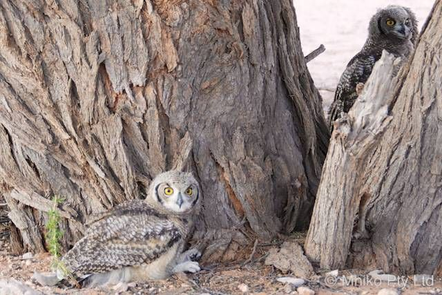 Two juvenile spotted eagle owls contemplate leaving the nest