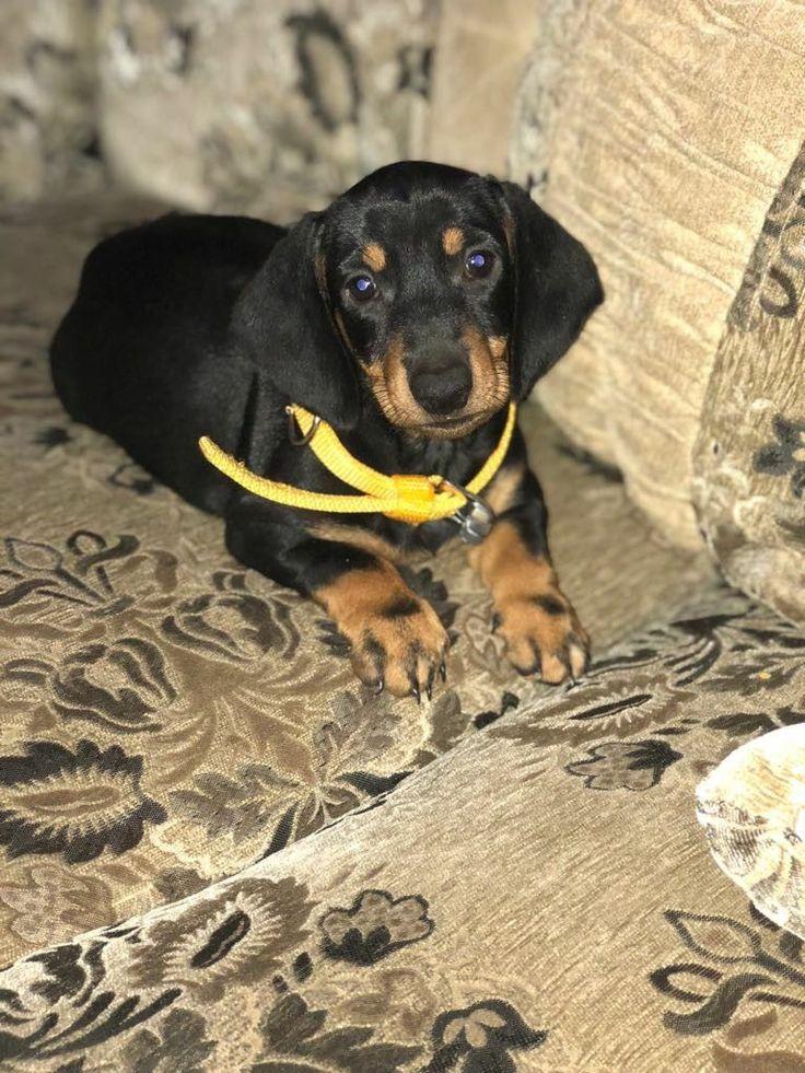 Black dachshund puppy .... Peppy the puppy!!