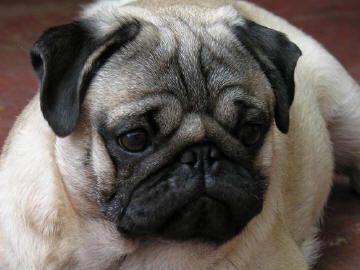 pug photos | ... pug carlino la raza de perro pug fue desde su origen considerada una