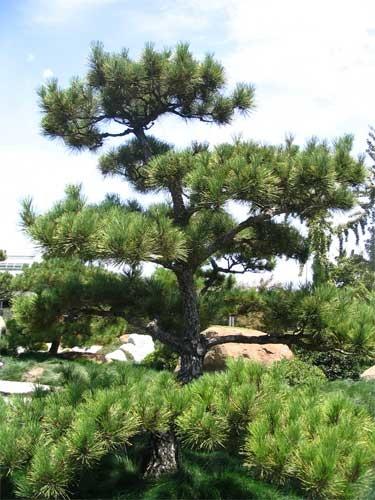 Japanese Black Pine - Pinus thunbergii