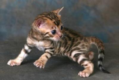 quattro gatti del Bengala in vendita - Milano