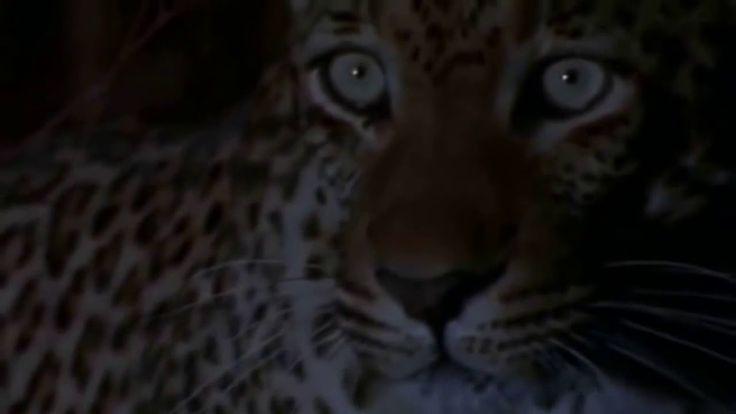 DOCUMENTALES DE ANIMALES 😜 👆 CAZADORES SALVAJES,Leopardos, Hienas ,Leone...