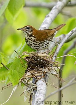 Possibly the best known of the North American spotted brown thrushes and the only one that commonly nests in parks and gardens, the 8-inch-long wood thrush is noted for its incredibly musical song, a flutelike ee-oh-lay. The wood thrush is known by several other names, including bellbird, in reference to its clarionlike song.