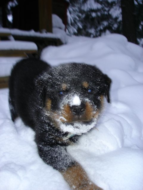 Rottweilers In Snow Trojan Rottweilers Rottweiler Breeder In