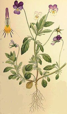 Viola tricolor = Das Wilde Stiefmütterchen (Viola tricolor), im Volksmund auch Ackerveilchen, Muttergottesschuh, Mädchenaugen, Gedenkemein, Schöngesicht oder Liebesgesichtli, gehört zur Familie der Veilchengewächse (Violaceae).