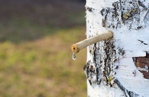 Bonjour, Dans cette vidéo je vous parle des techniques pour récolter soi-même sa sève de Bouleau pour faire ses cures tout le long de sa saison. Vous découvrirez également ses propriétés et les autres usages possible de cet arbre vertueux. Bon visionnage : La sève circule dans l'arbre via des tissus conducteurs de l'aubier (bois …