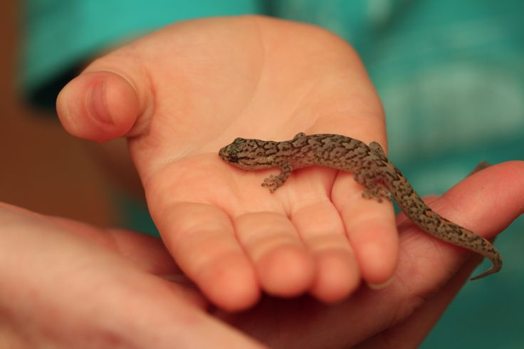 One of our little Geckgo's, held by my 4yr old Grandson