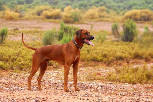 The Rhodesian Ridgeback is a large, powerful hunting dog from Africa. Although the breed is affectionate and loyal to its family, it is aloof and sometimes wary of strangers. Originally used as guard dogs and hunting dogs, they maintain the tenacity needed to tackle large game such as lions and wild pigs.
