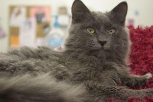 Domestic Long Hair - Gray Cat