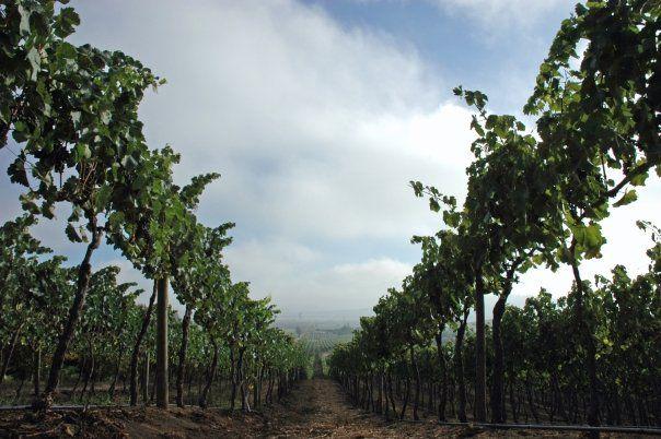 Viñedos Kingston Family Vineyards- Valle de Casablanca