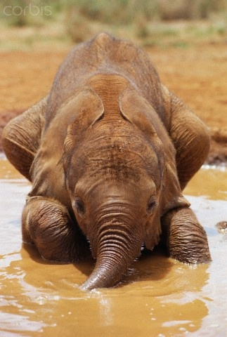 African Elephant (Loxodonta africana) orphan called Isholta, five weeks old, playing in mud bath, David Sheldrick Wildlife Trust, Tsavo East National Park, Kenya. Elephant Strength