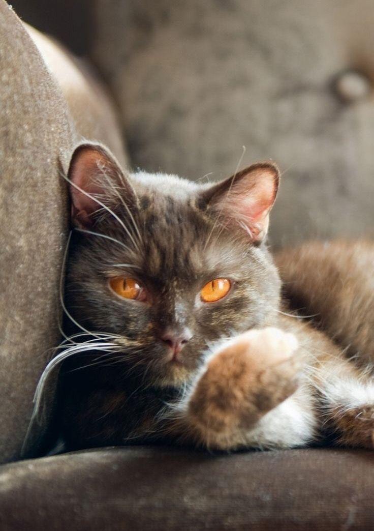 Golden amber eyed kitty