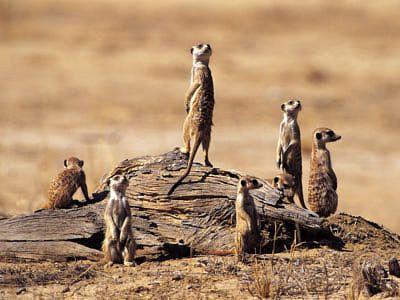 Meerkat Pictures: Meerkat Family