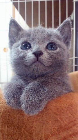Precious little grey kitty. #cats #kittens #pets #animals
