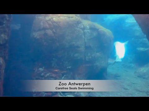 Zoo Antwerpen   (HD) Carefree Seal Swimming Two seals swimming in Zoo Antwerpen. #liveinbelgium #lifeinbelgium #belgium #antwerpen #antwerp #zooantwerpen #zooantwerp #cute #animal #animals #animalsinaction #recommended #visitflanders #flanders #seals #placesofinterest #swimming #touristattraction #visitantwerp #visitantwerpen #travel #youtube #video #zoo