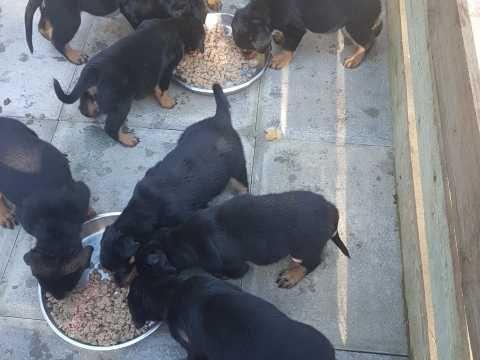Happy Rottweiler Puppies Rottweiler Puppies Rottweiler Puppies