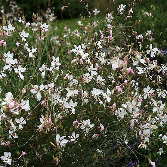 Gaura lindheimeri (Wand flower, White gaura, Butterfly gaura) - Fine Gardening Plant Guide NEXT SPRING