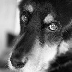 Når hunden bliver ældre, vil en række fysiologiske forhold ændre sig. Den ældre hunds krop fungere anderledes end tidligere, og dermed vil også hundens daglige behov forandres. Det er naturligt, at ældre hunde udviser forskellige tegn på svigtende helbred, men mange hunde kan alligevel leve et godt og rigt liv […]