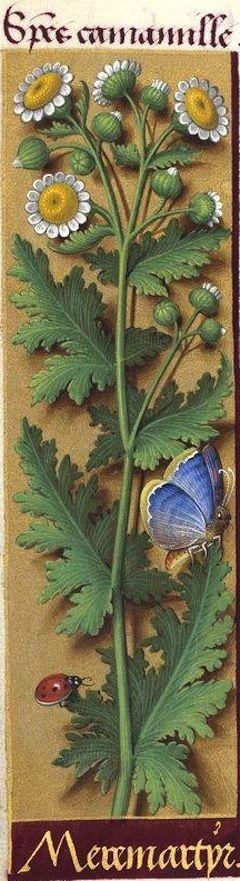 Mere martyr - Species camamille (Leucanthemum parthenium G. G. = matricaire, grande camomille) -- Grandes Heures d'Anne de Bretagne, 1503-1508.