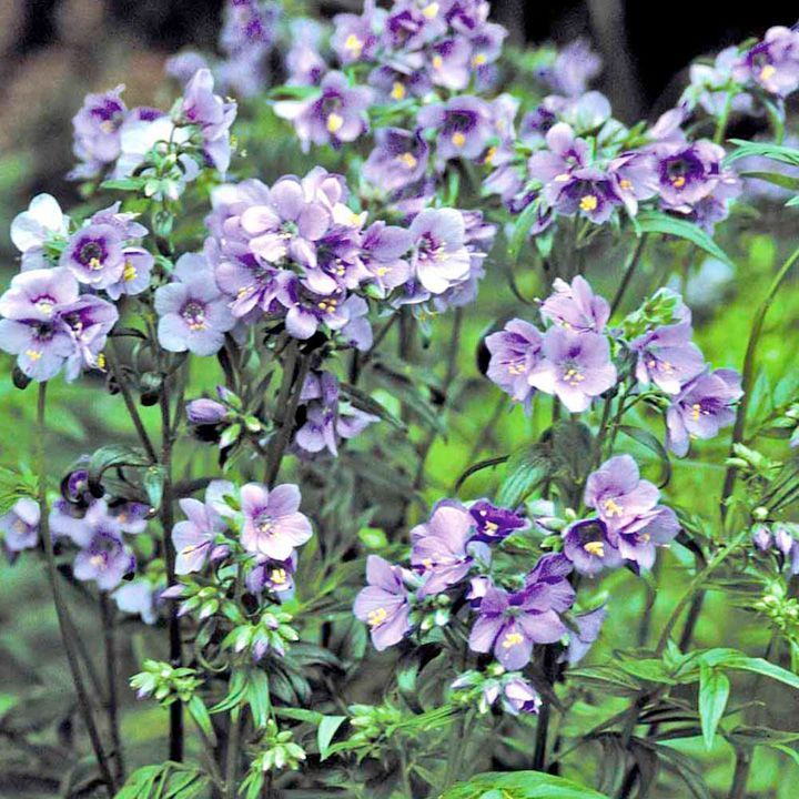 Polemonium 'Purple Rain' Jacob's ladder Deciduous perennial Clusters of pretty blue flowers on long stems in late spring/early summer