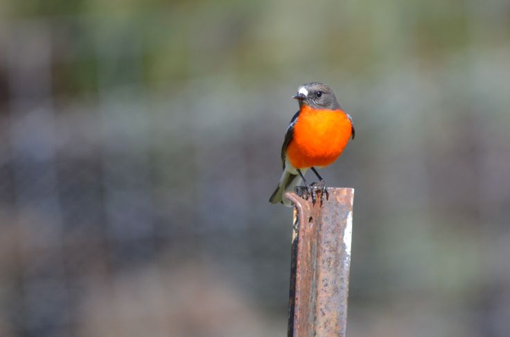 Robin on metal post taken at North Scottsdale.  These little birds create a flash of brilliant colour in the colder winter months in Dorset, North East Tasmania