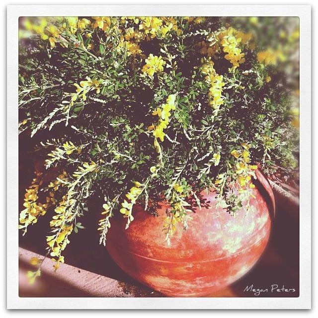 Rustic Italian charm + yellow bush in terracotta pot