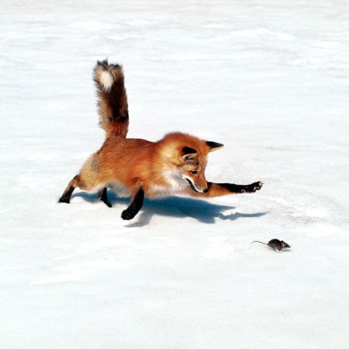 A great action shot of a fox hunting in winter.