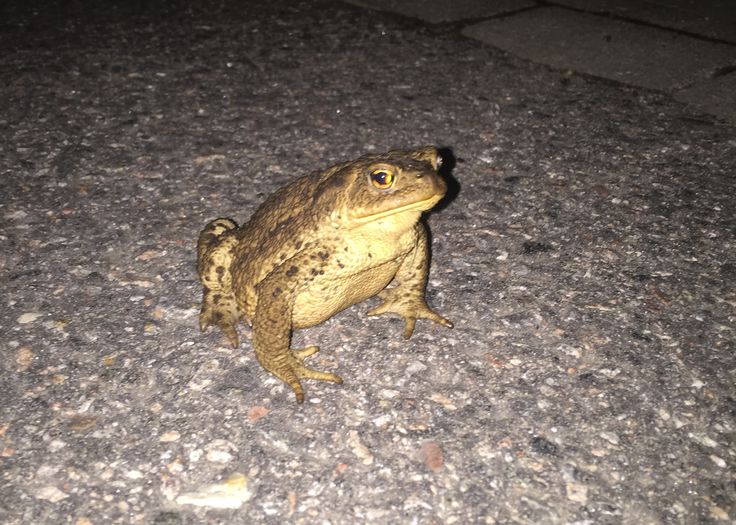 Almost hit this fella (toad) with my car as he/she was crossing the road in the darkness. #toad #frog #sweden