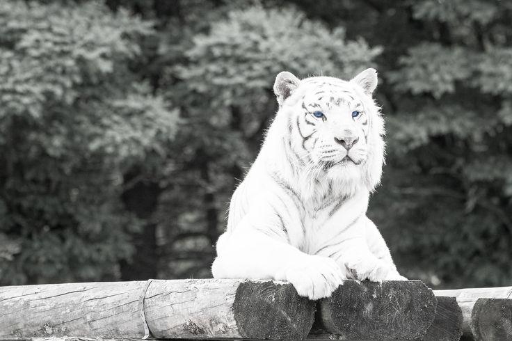 https://flic.kr/p/uRAPSk   Blue Eyed White Tiger   Seen in Safari_park Stukenbrock. The eye of this white tiger is blue indeed