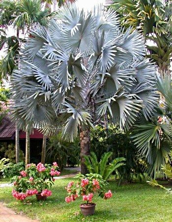 Bismarckia nobilis, bismarck palm