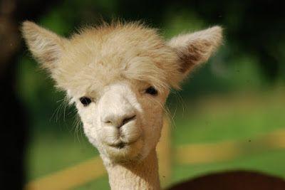 alpak - uśmiech od ucha do ucha, #alpaca #smile