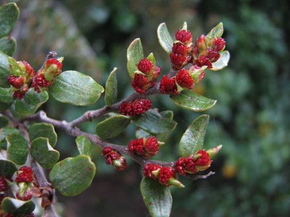 Mountain beech flowers. Photo: Herb Christophers.